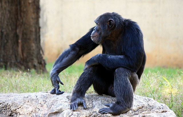 img_chimpanze_direitos_1