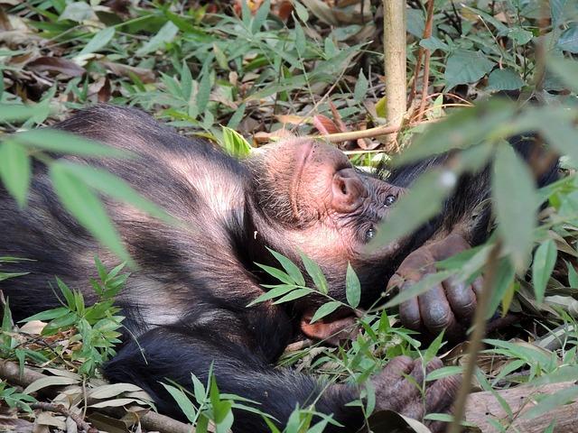 img_chimpanze_direitos_2