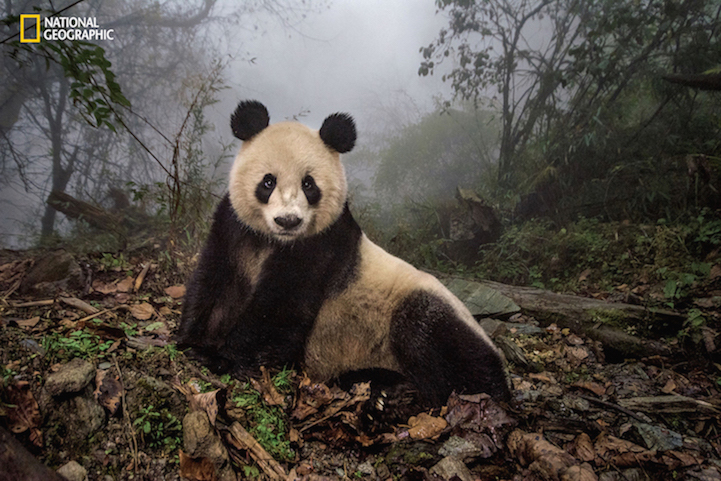 """Photograph by Ami Vitale Ye Ye, a 16-year-old giant panda, lounges in a wild enclosure at a conservation center in Wolong Nature Reserve. Her name, whose characters represent Japan and China, celebrates the friendship between the two nations. Ye Ye's cub Hua Yan (Pretty Girl) is being trained for release into the wild. PERMITTED USE:This image may be downloaded or is otherwise provided at no charge for one-time use for coverage or promotion of National Geographic magazine datedAugust2016 and exclusively in conjunction thereof. No copying, distribution or archiving permitted. Sub-licensing, sale or resale is prohibited.  REQUIRED CREDIT AND CAPTION:All image uses must bear the copyright notice and be properly credited to the relevant photographer, as shown in this metadata, and must be accompanied by a caption, which makes reference toNGM. Any uses in which the image appears without proper copyright notice, photographer credit and a caption referencingNGMare subject to paid licensing.  Mandatory usage requirements:Mandatory usage requirements: (Please note: you may select 5 branded images for online use and 3 images for print/unbranded)  1. Include mandatory photo credit with each image© Photographer/National Geographic 2. Show theAugustcover of National Geographic somewhere in the post (credit: National Geographic) unless using only one image 3. Provide a prominent link to:http://www.nationalgeographic.com/magazine/2016/08/giant-pandas-wild-animals-national-parks/ at the top of your piece, ahead of the photos 4. Mention that the images are from """"theAugust issue of National Geographic magazine"""" DROPBOX Link to Images: https://www.dropbox.com/sh/8zg6ztwv5prfnj0/AABFepCHrEsNMEdKFymA6Unva?dl=0"""